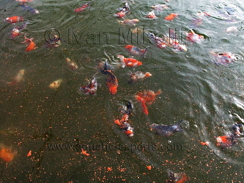 Peces ornamentales y pescados del sur for Peces de agua fria para consumo humano