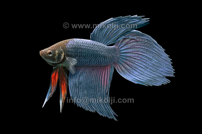 Blue betta fish scales for Fish with scales and fins