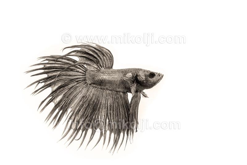 Grey Betta Fish