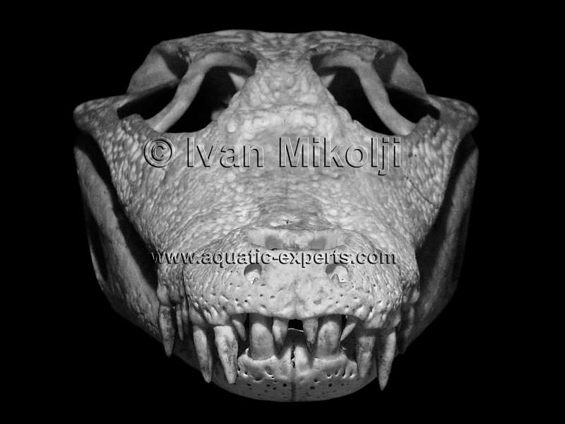 Spectacled Caiman or Crocodiles bones