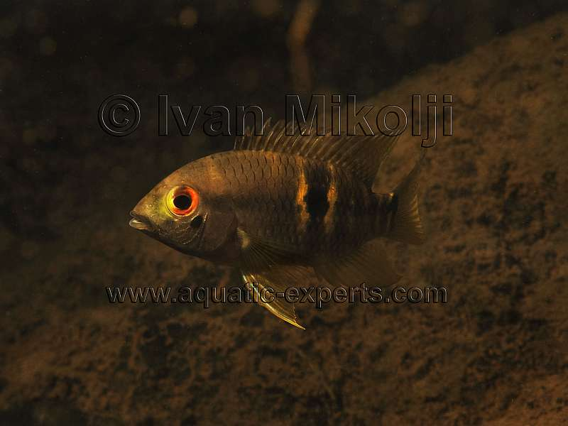 Aequidens diadema for Freshwater wolf fish