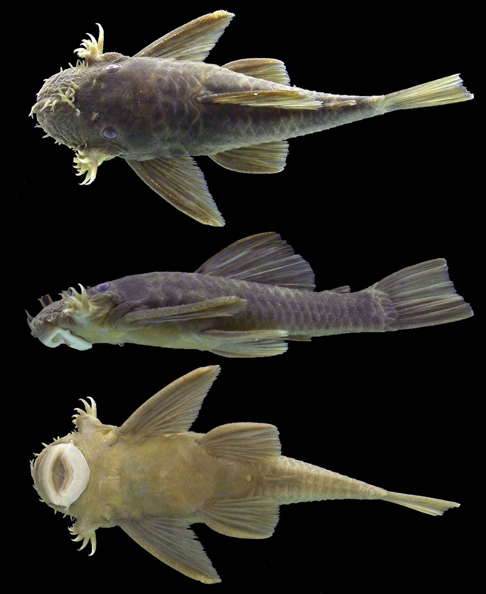 Ancistrus falconensis freshwater continental fish articles