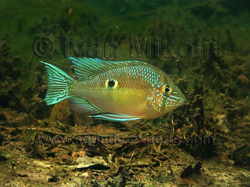 biotodoma wavrini cupid cichlid greenstreaked eartheater orinoco river ...