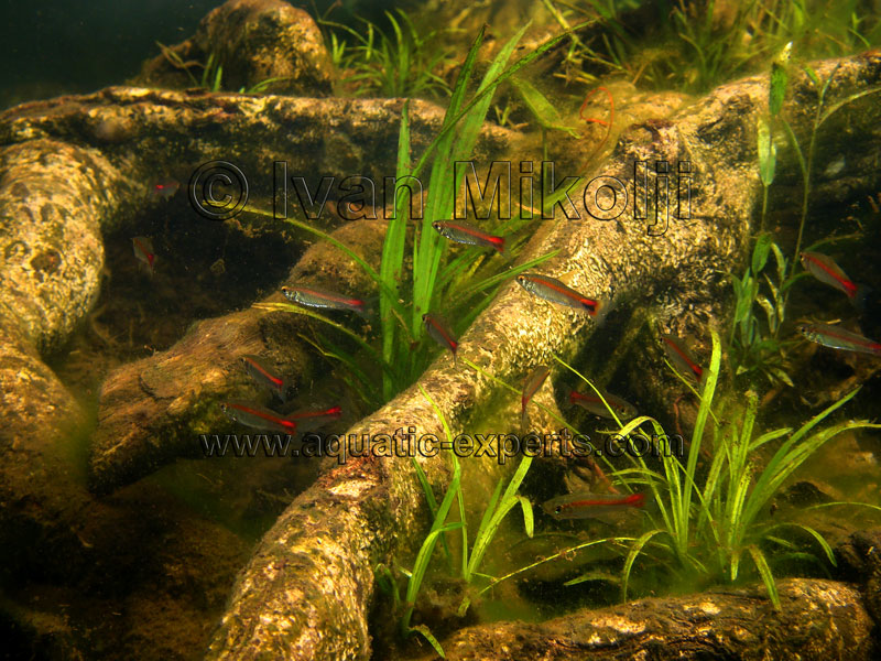 Curimatopsis evelynae for Betta fish natural environment