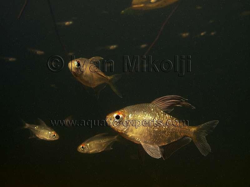 diamond tetra aquarium fish