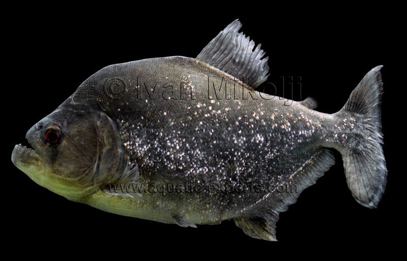 Black) Piranha - Serrasalmus