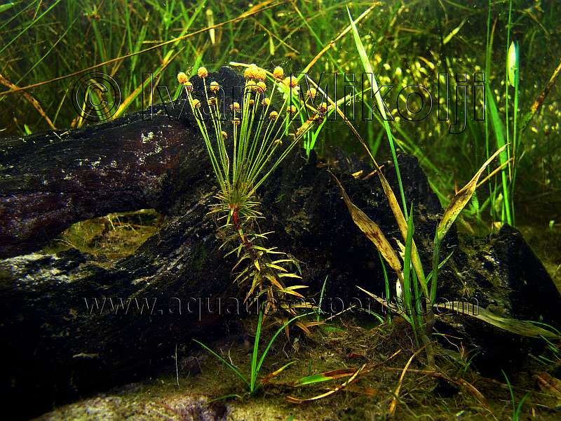 Freshwater aquatic plant sp 8 for Freshwater pond plants