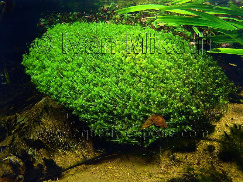 Freshwater Lake Plants Freshwater Aquatic Plant sp 6