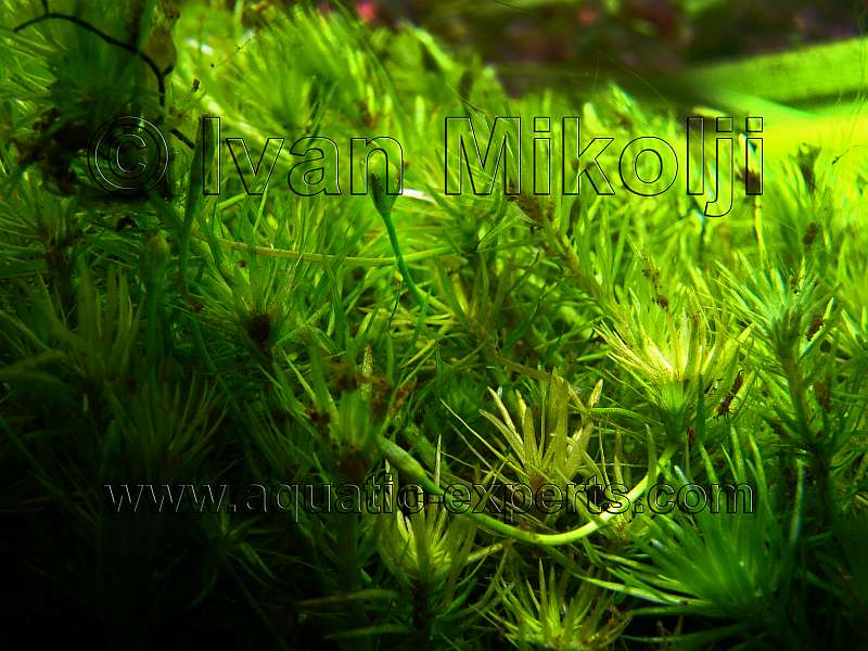 Freshwater underwater plants for Freshwater pond plants