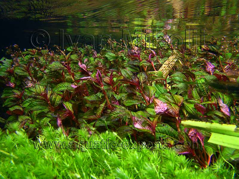 FRESHWATER AQUATIC PLANT Sp. 4
