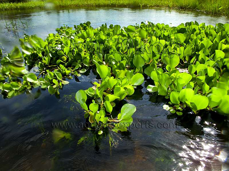Eichhornia sp for Freshwater pond plants