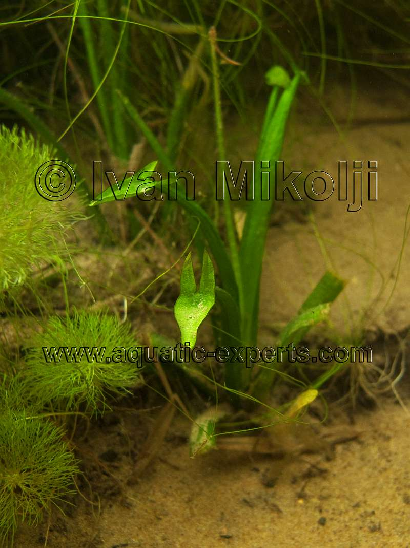 Freshwater aquatic plant sp 18 for Freshwater pond plants