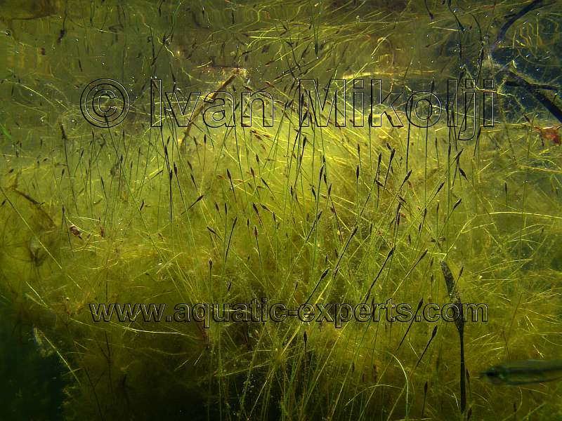 Freshwater aquatic plant sp 15 for Freshwater pond plants