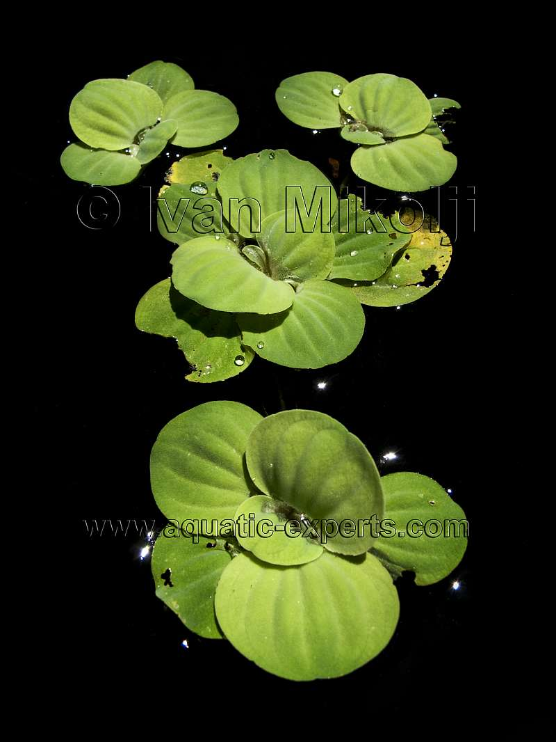 FRESHWATER FLOATING AQUATIC PLANT Sp. 1