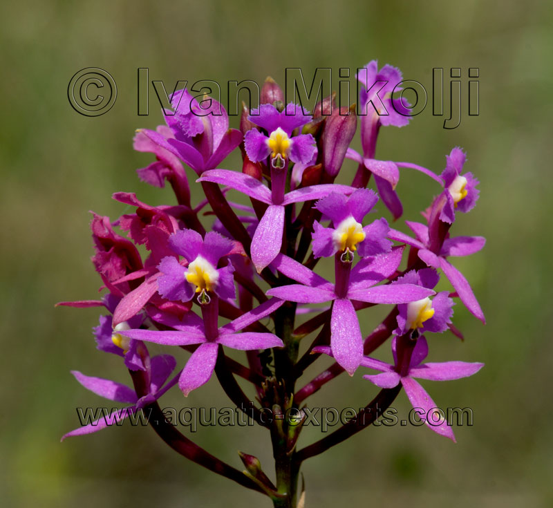 nombres lista orquideas de venezuela