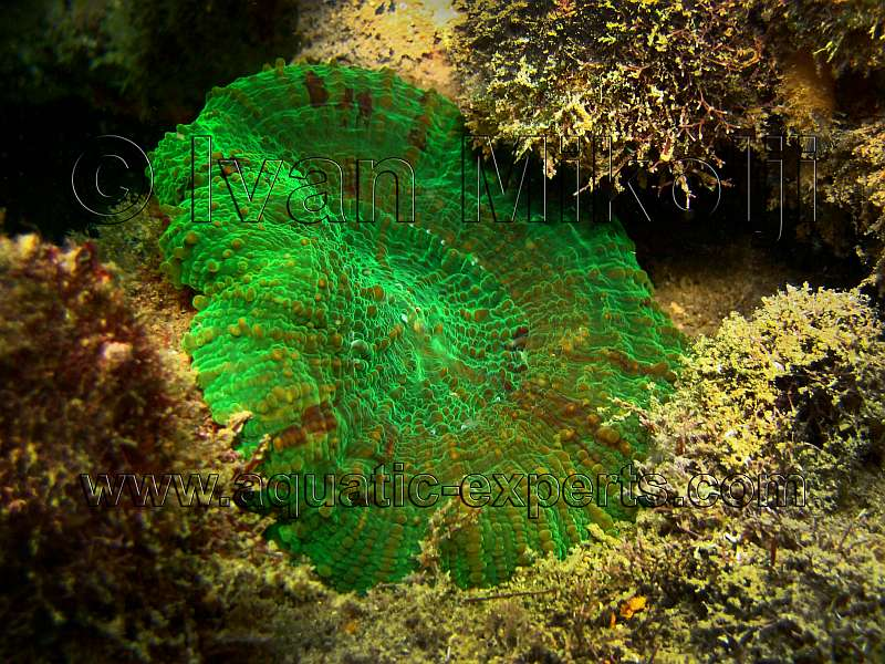Scolymia sp. Green